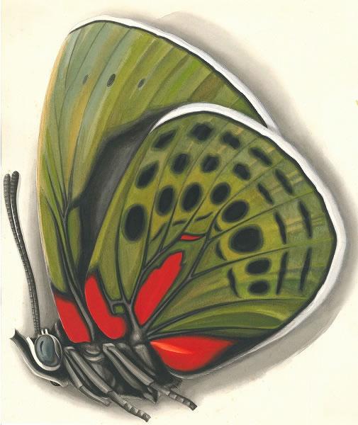 田淵行男 画【オオマルバネアカネタテハ】1938年頃制作