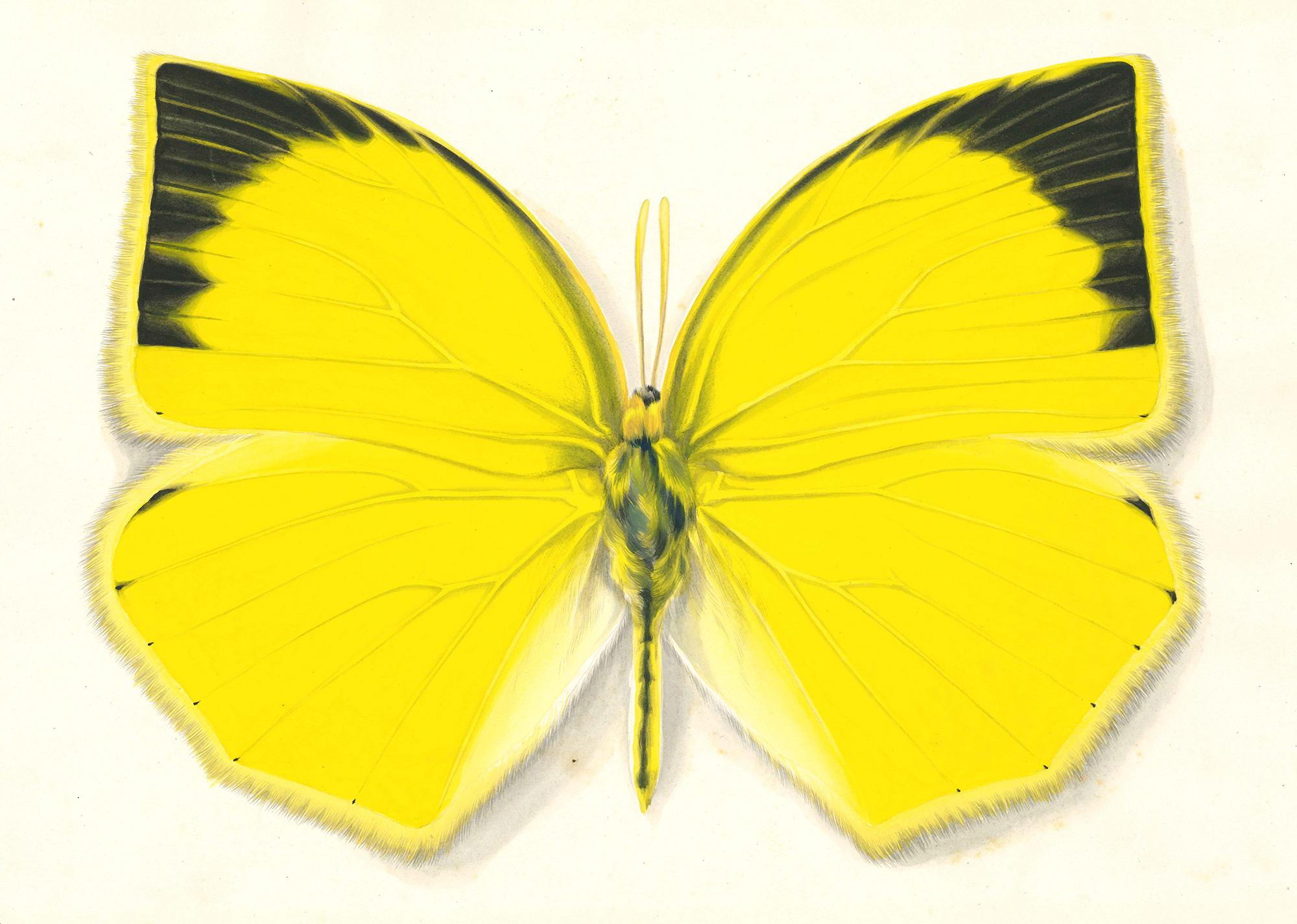 【ツマグロキチョウ Eurema laeta】1948年制作