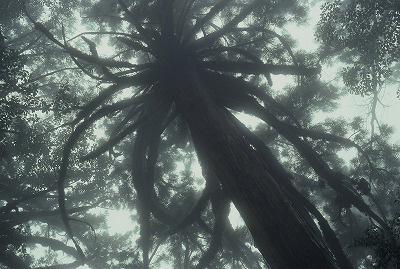 【霧の中のヤクスギ(屋久島)】1982年