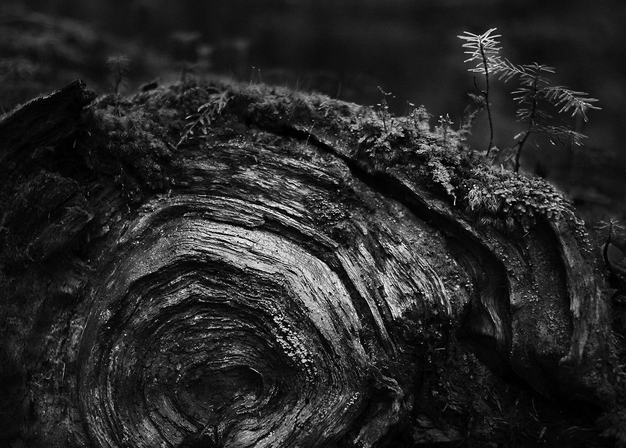 【倒木に芽生える】