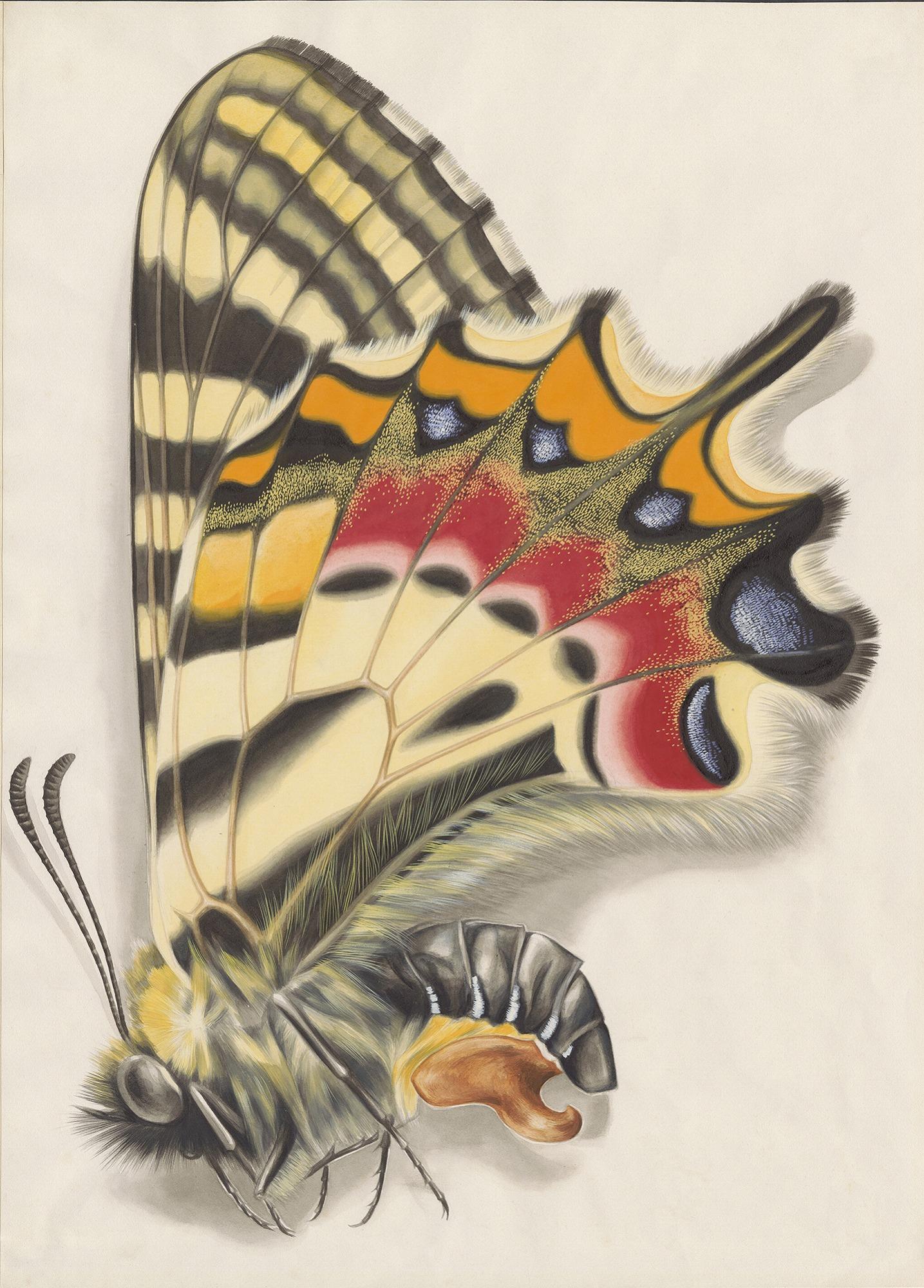 【ヒメギフチョウ♀】1949年制作