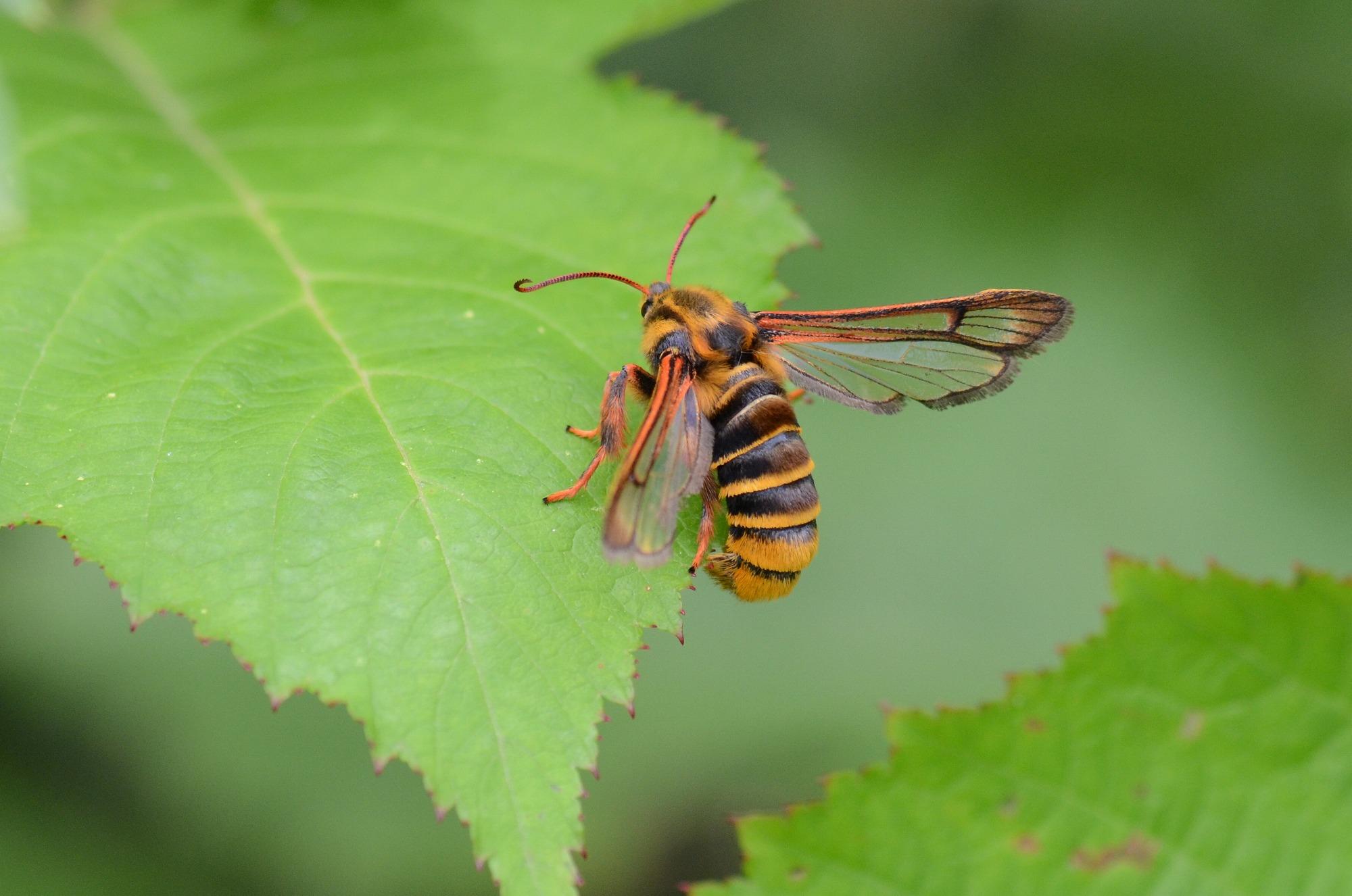 スズメバチに擬態するセスジスカシバ